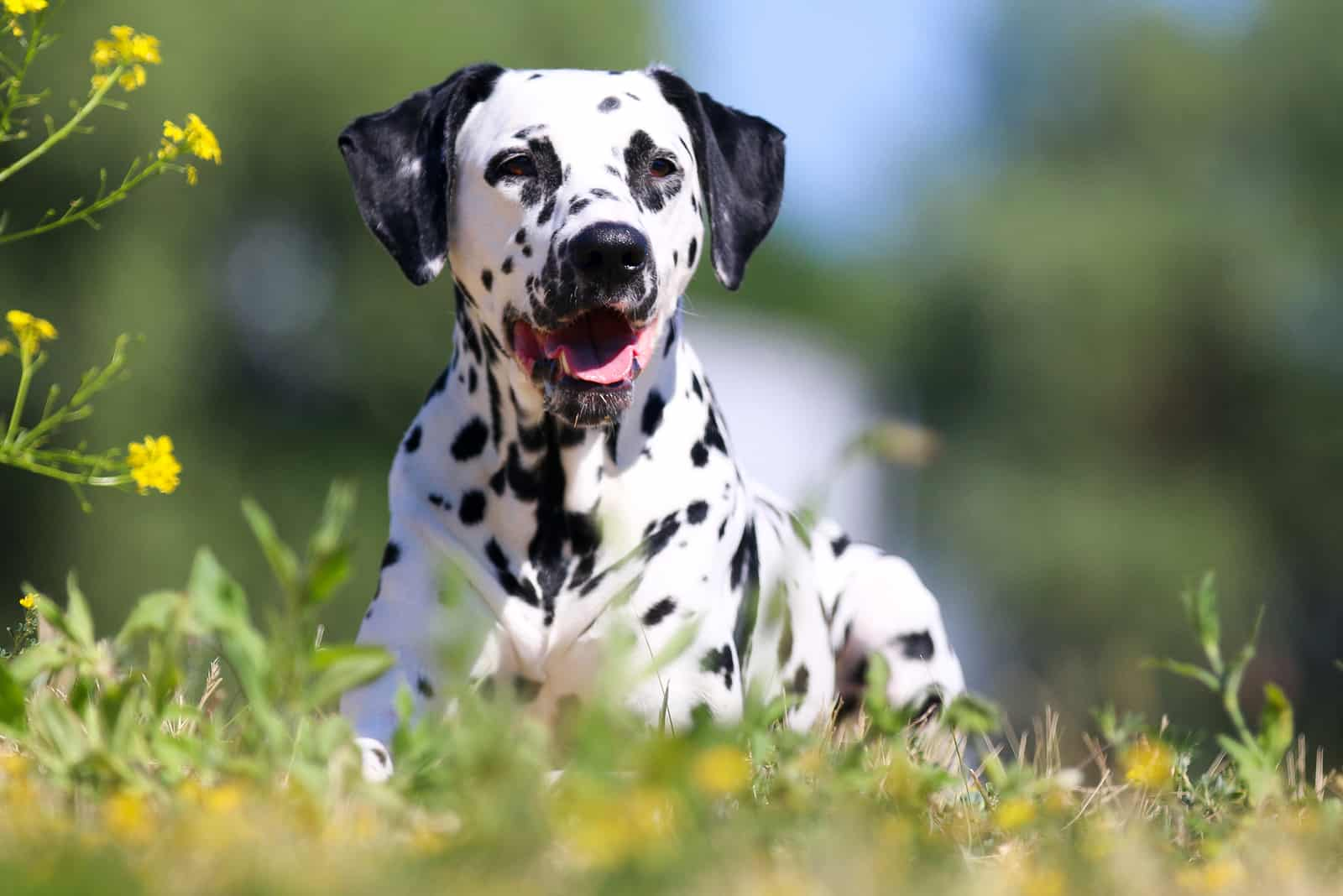 The Ultimate Guidelines On Buying Dalmatian Puppy That You Must Know